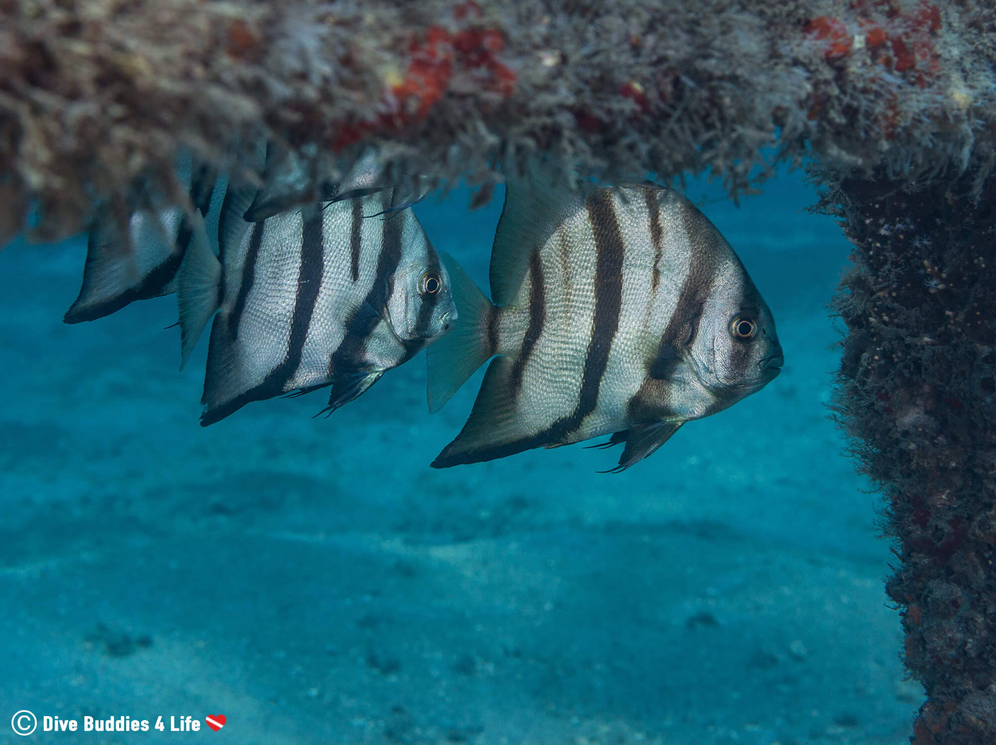 A School Of Spadefish Hiding Around BHB Columns, Florida, USA