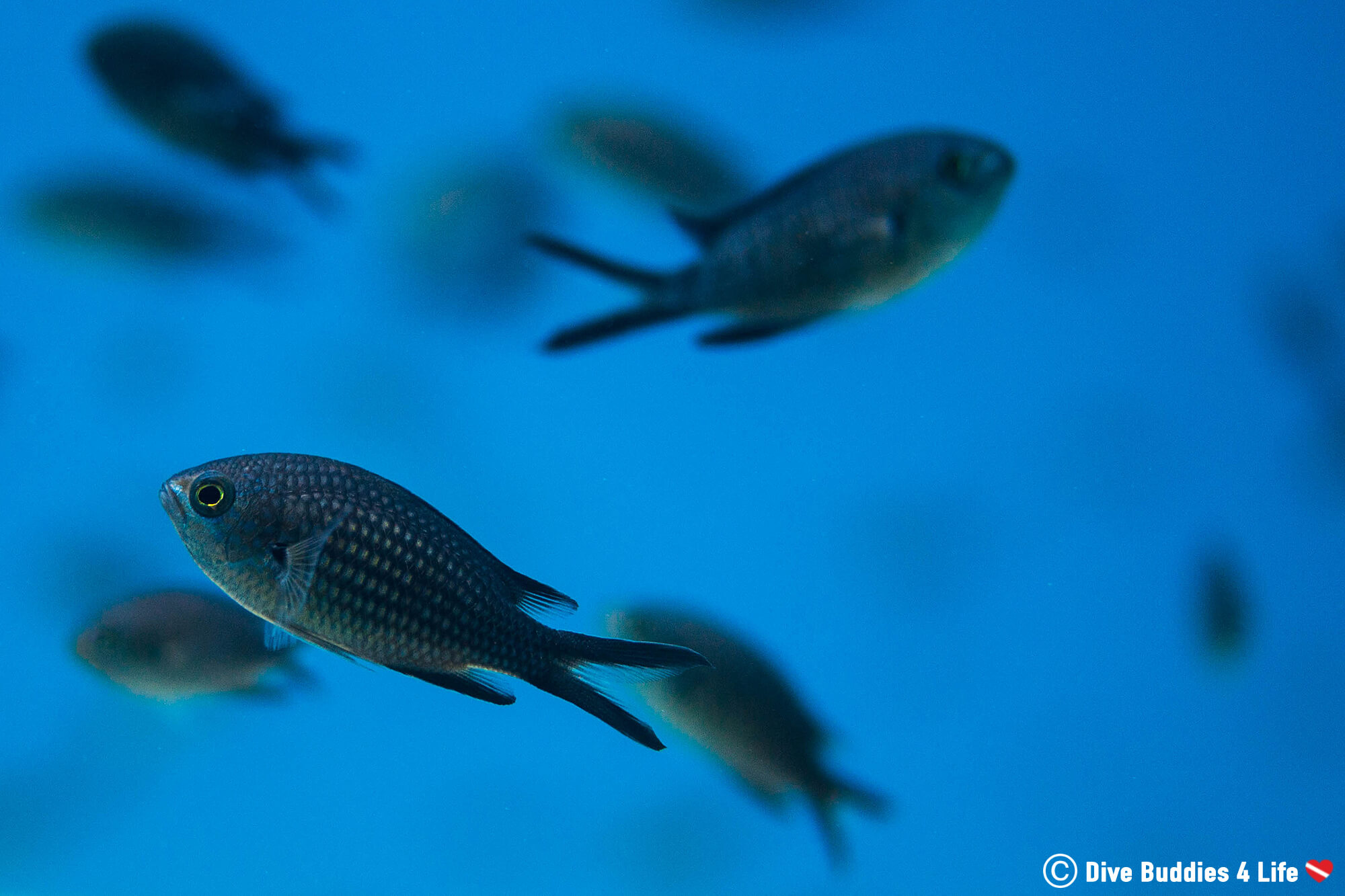 A School Of Sporadically Swimming Damselfish In The Blue Croatian Waters Of Dubrovnik In Europe's Balkan Countries