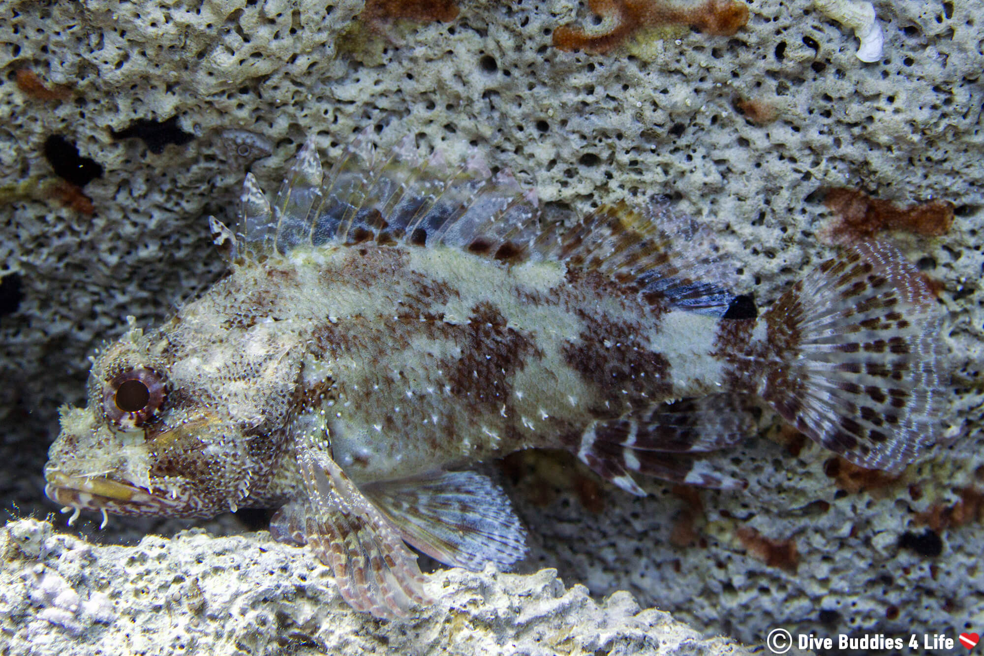 A Scorpion Fish Exhibiting Camouflage With The White Rock Behind It On Zakynthos Island, Greece