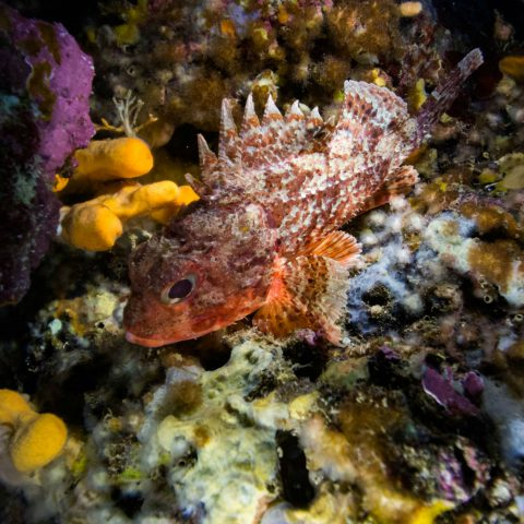 A Scorpionfish In The Sponges And Rocks Of Montenegro