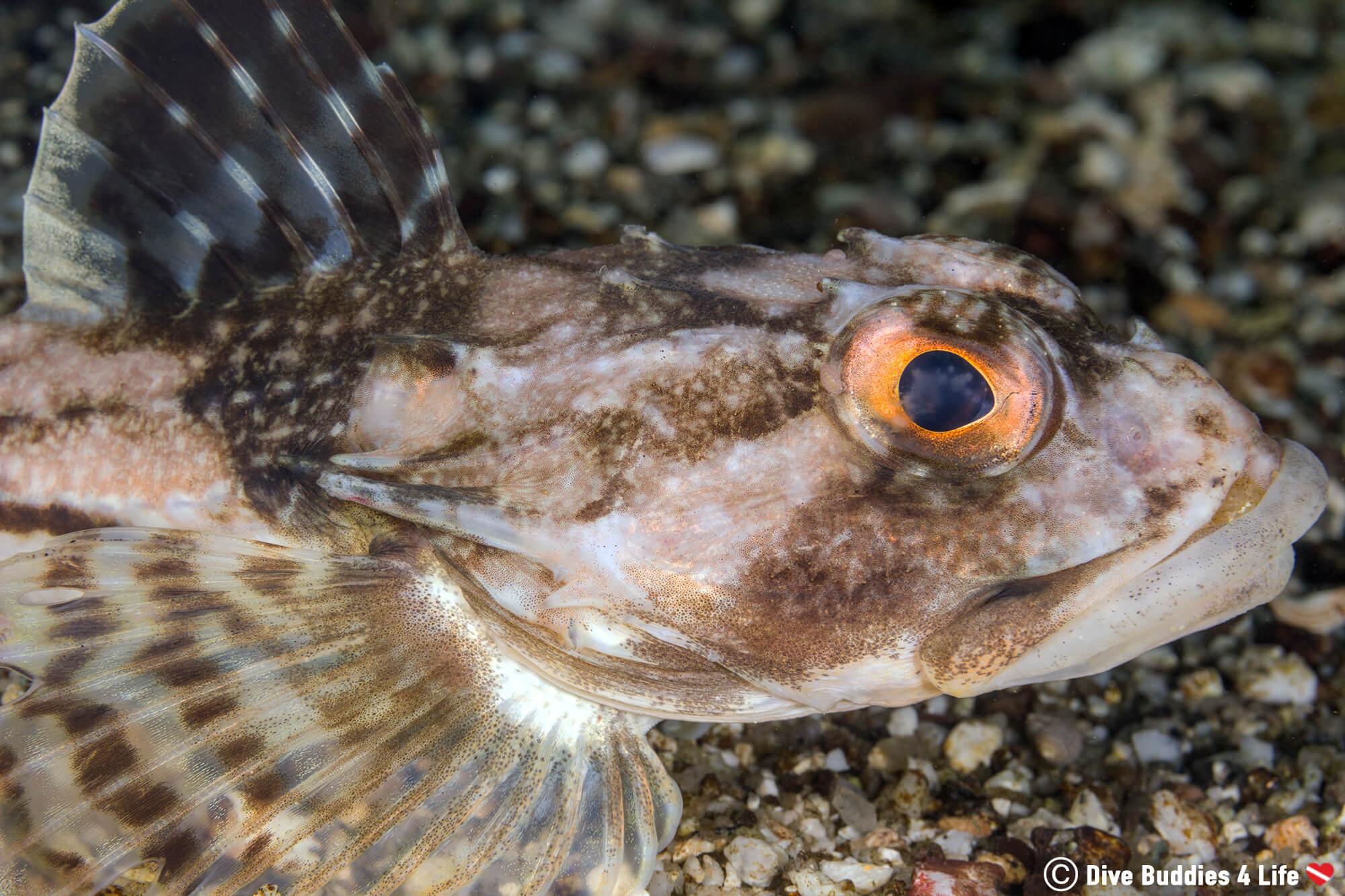 A Sculpin Profile Photo Taken While Scuba Diving At The Paddies Head Dive Site In Halifax, Nova Scotia, Canada