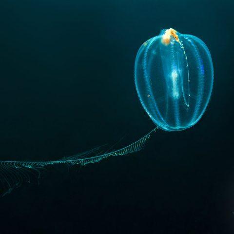 A Sea Gooseberry Comb Jelly In The Black Ocean Of Nova Scotia, St Margarets Bay, Canadian Splash Scuba Diving