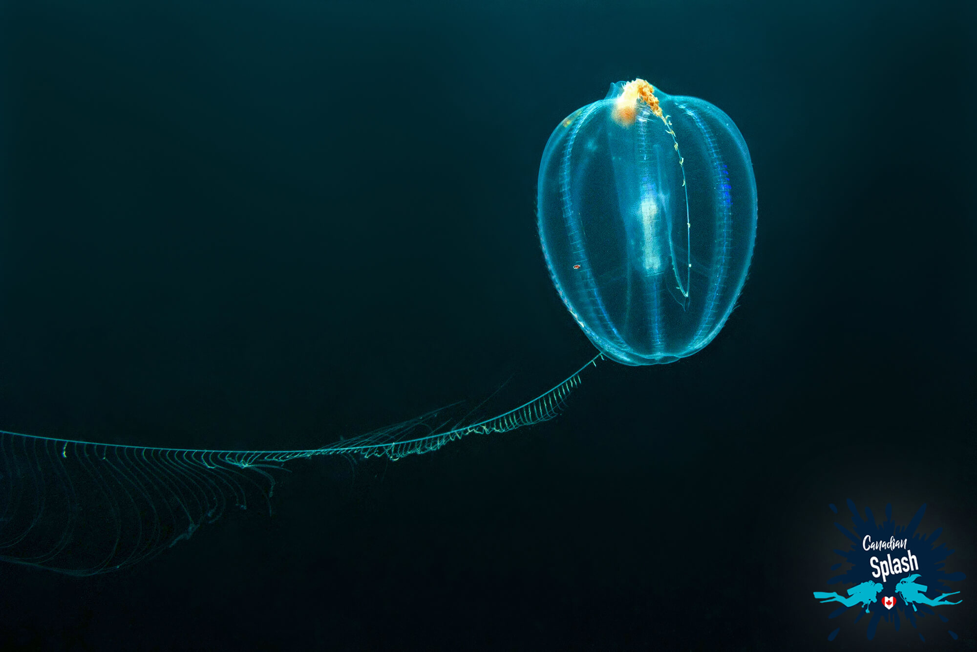 A Sea Gooseberry Comb Jelly In The Black Ocean Of Nova Scotia, St Margarets Bay, Canadian Splash Scuba Diving