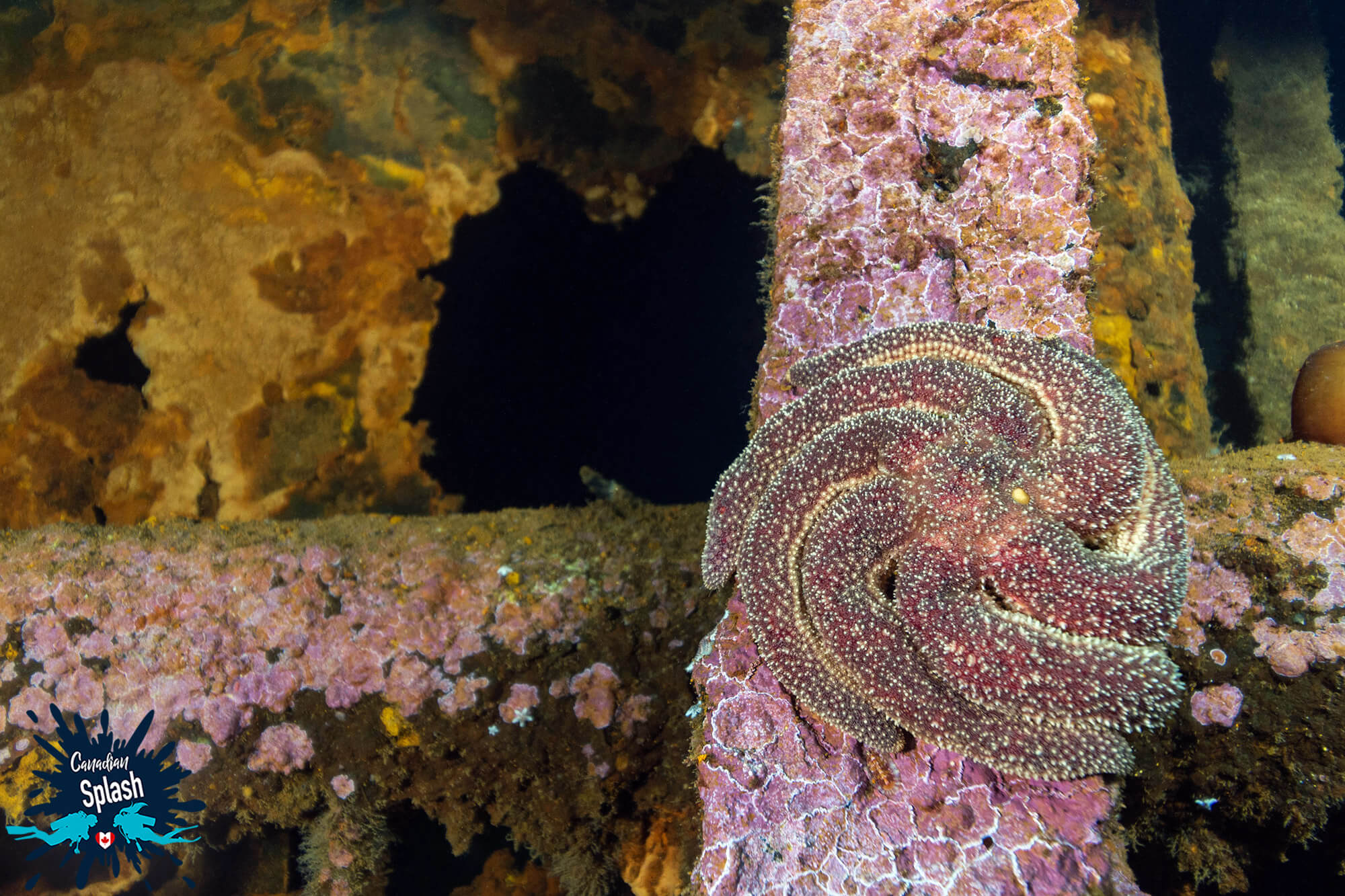 A Sea Star Stuck On The Side Of A Shipwreck In Bell Island, Newfoundland And Labrador, Scuba Diving Canada