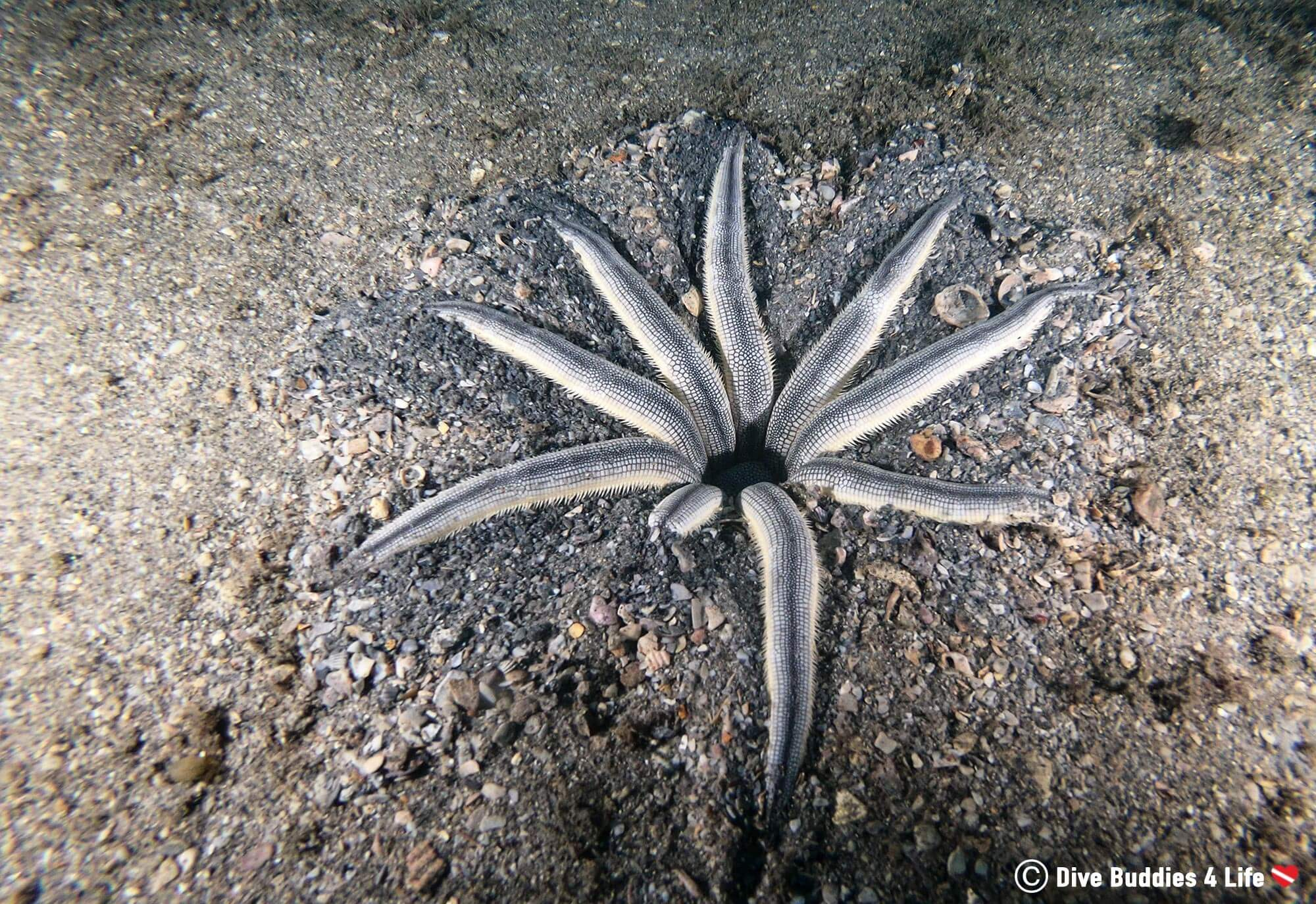 A Sea Star With Several Limbs Missing From Its Body In Florida
