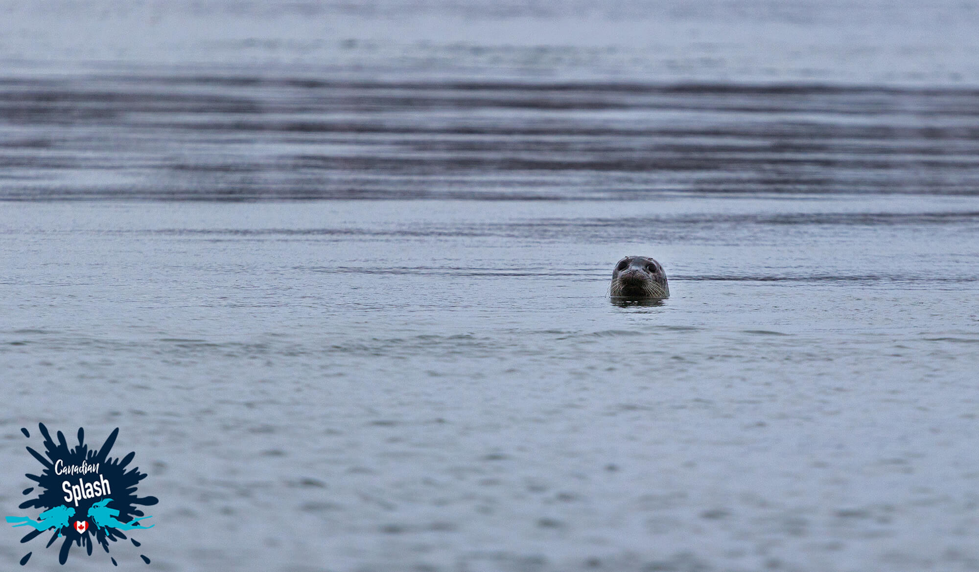 A Seal Popping It's Head Out Of The Bay Of Fundy On Deer Island, New Brunswick, Canadian Splash