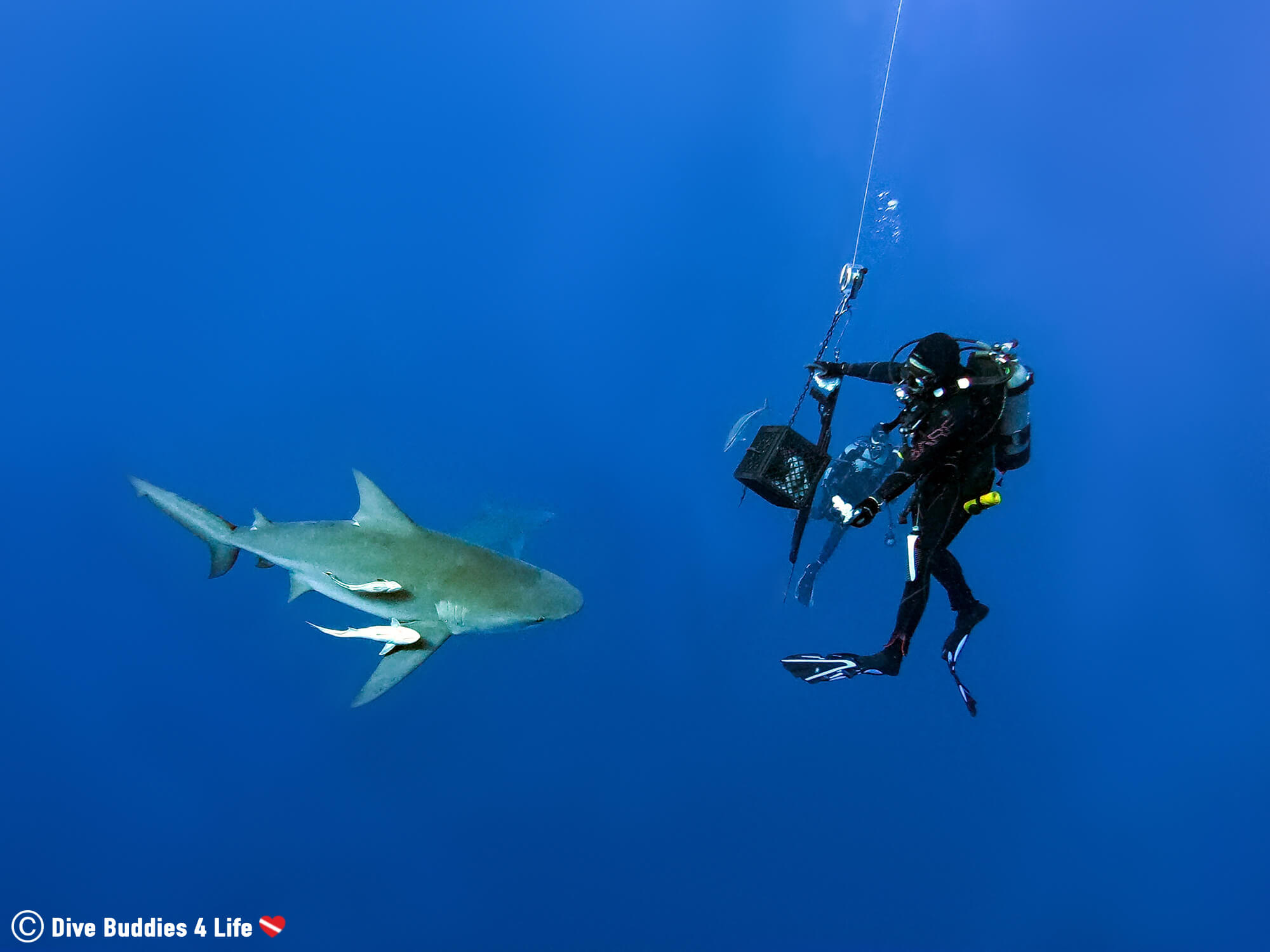 A Shark Feeder Dangling Bait In Jupiter On A Shark Feeding Dive, Florida, USA
