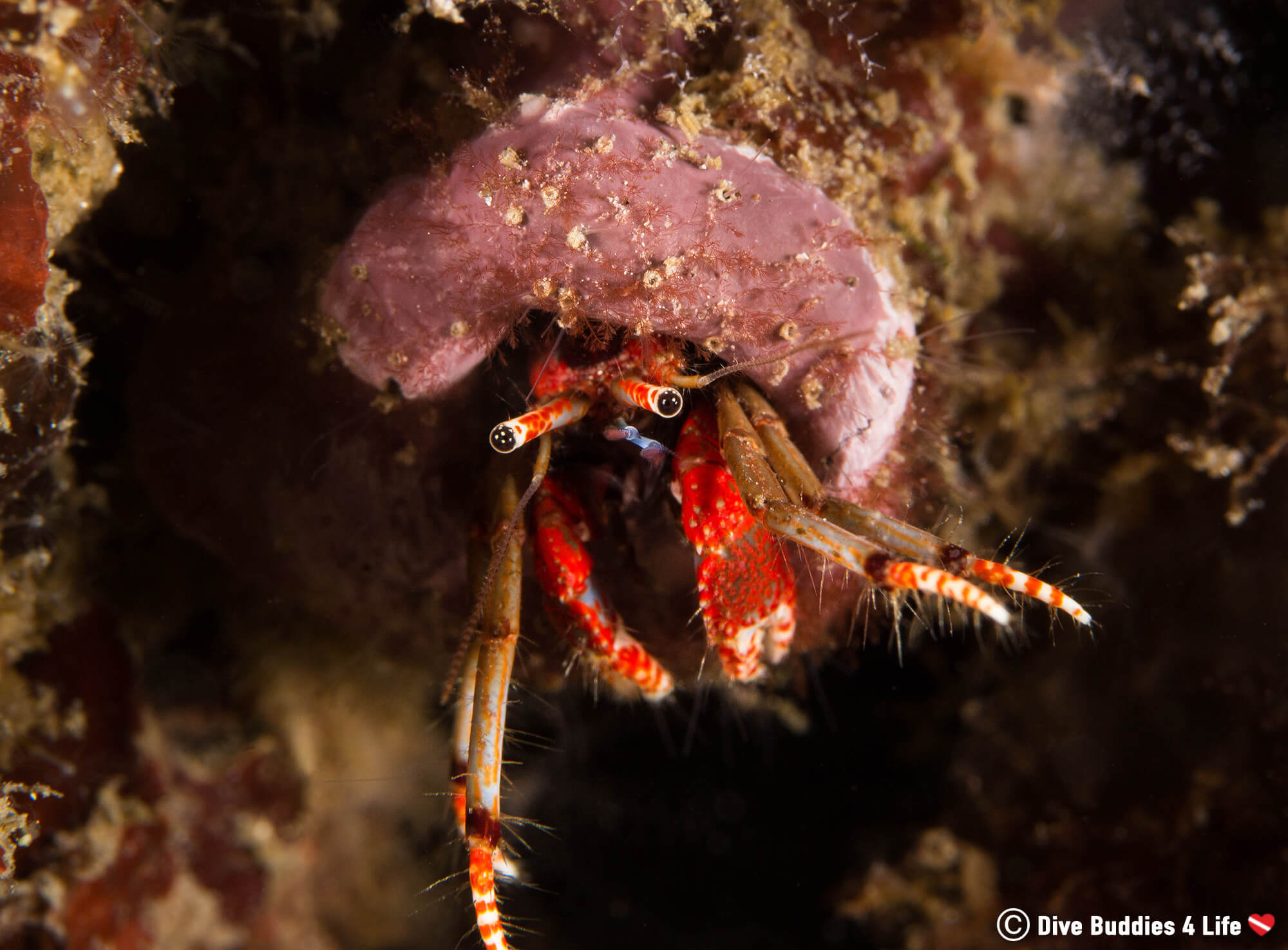 A Small Hermit Crab Hanging Out Of His Shell Underwater In Costa Del Sol, Spain, Europe