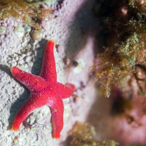 A Small Pink Blood Star On A Rock In Saint Andrews, New Brunswick, Canadian Splash Scuba Diving