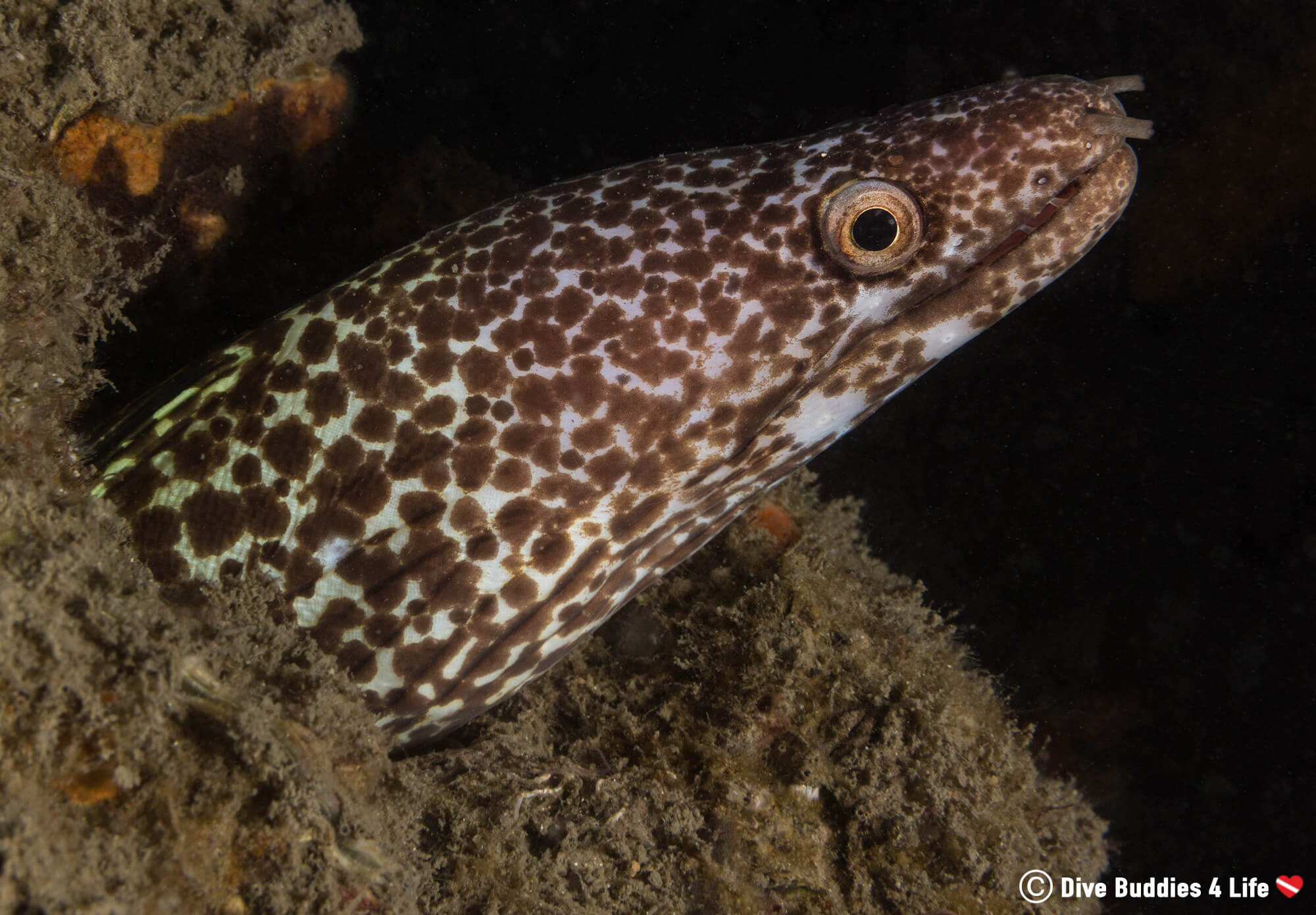 A Spotted Moray Eel With His Head Out In West Palm Beach's Blue Heron Bridge Dive Site