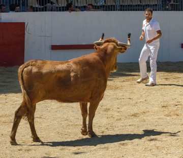 A Spanish Bull Festival In Northern Spain, Europe