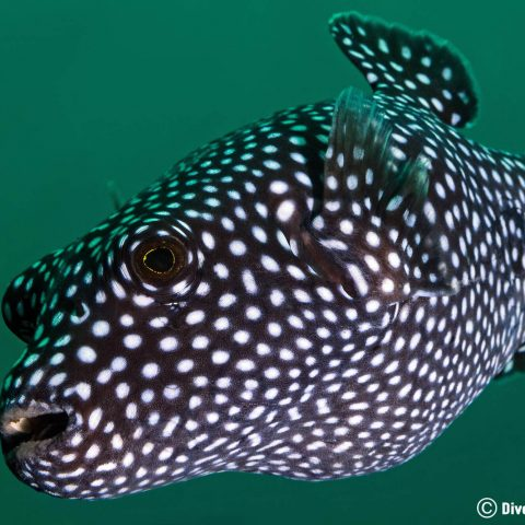 A Spotted Guineafowl Puffer Looking Into A Scuba Divers Camera In Zihuatanejo, Pacific Mexico