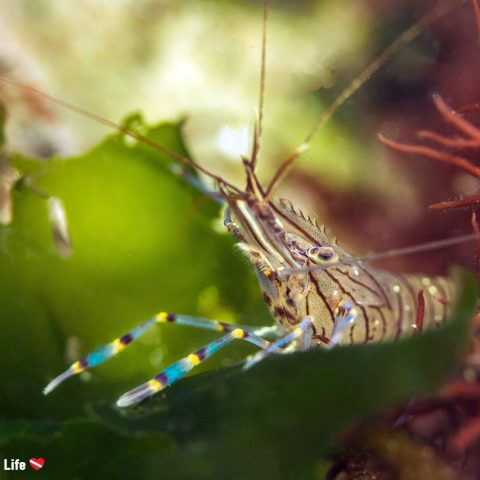 A Striped Shrimp Eating Some Kelp Underwater In The Grevelingen Lake, Netherlands