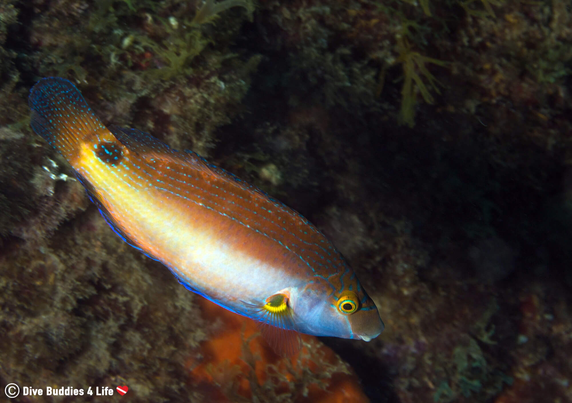 A Swimming Wrasse Fish Underwater In Costa Brava, Spain, Europe