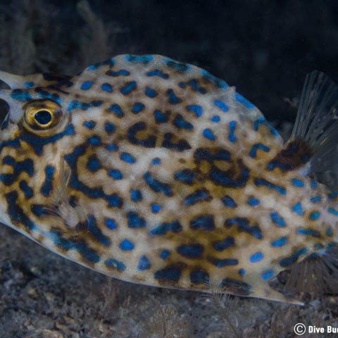 A Timid Cowfish On Our Night Dive At Blue Heron Bridge, Florida