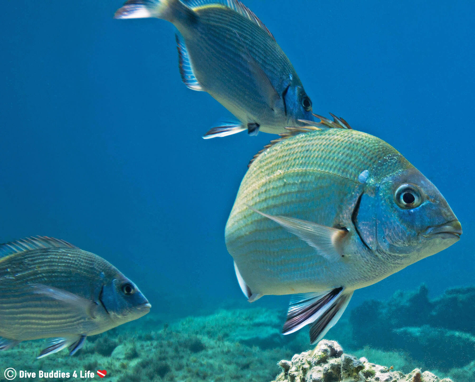 A Trio Of Sea Bream In The Blue Water Of Montenegro, Scuba Diving In The Balkan Countries Of Europe