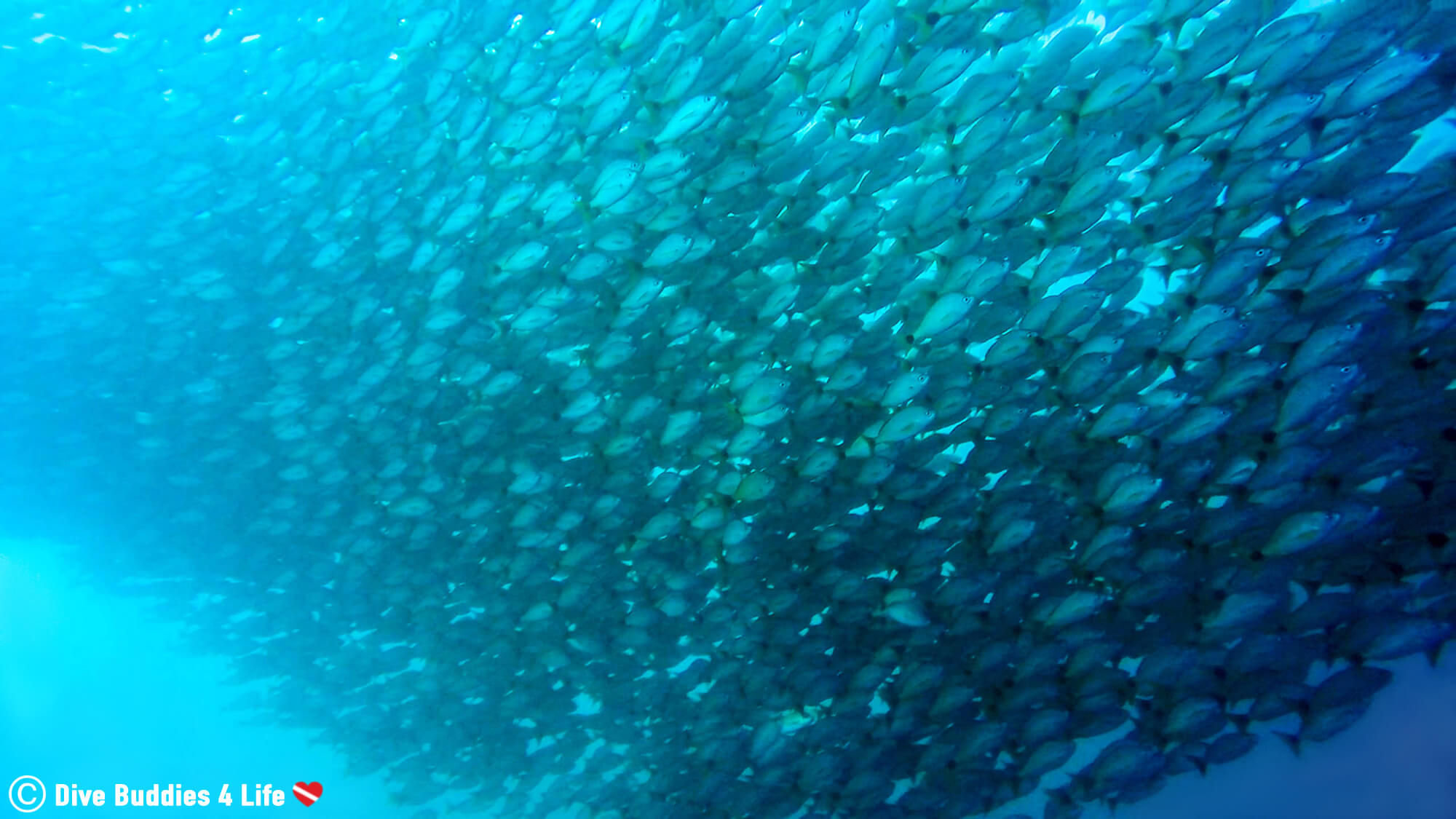 A Wall Of Fish On A Dive In Bat Island, Costa Rica, Central America