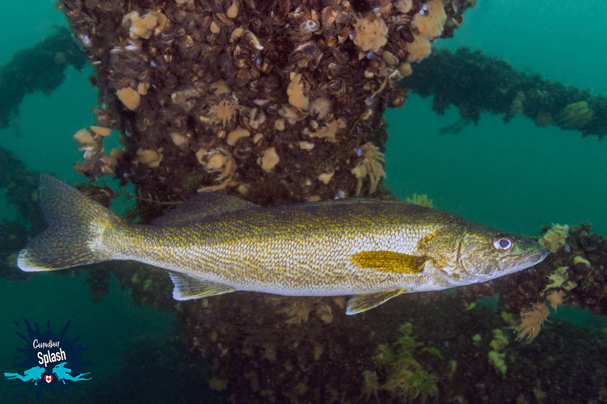A Walleye In The Rubble Of A Shipwreck In Brockville, Ontario, Scuba Diving Canada