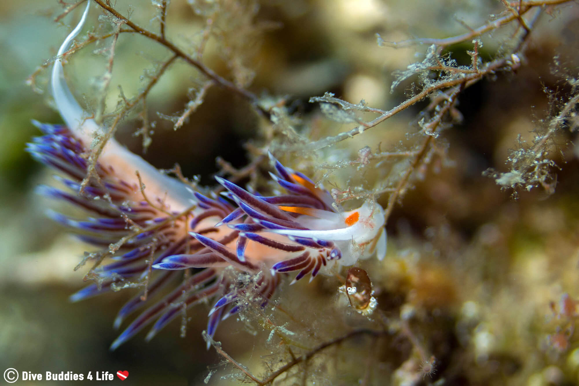 A White, Purple And Orange Colored Nudibranch On A Piece Of Flora In Dubrovnik, Croatia One Of Europe's Balkan Countries