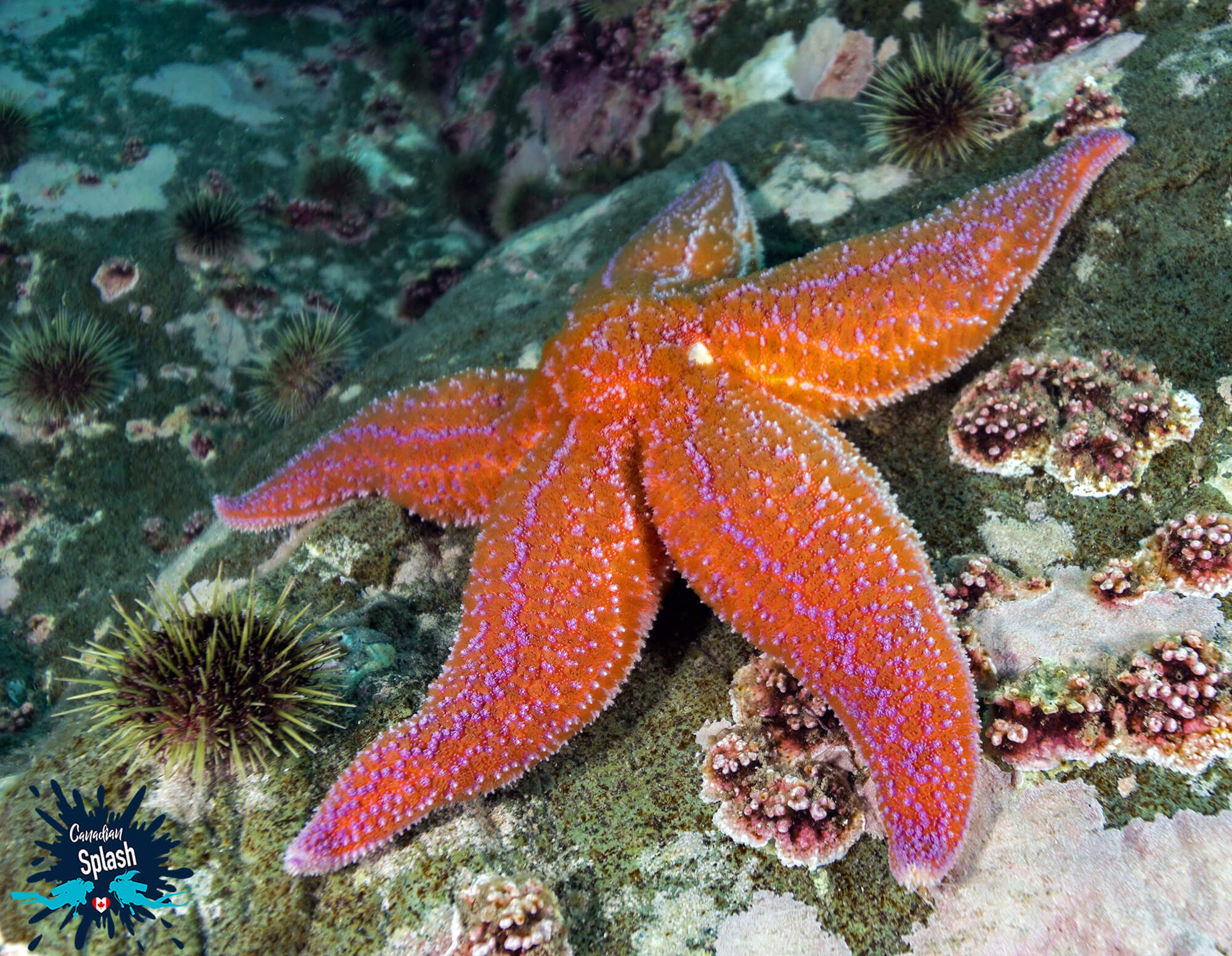 A Wide Angle View Of A Large Sea Star On A Rock Wall In Newfoundland, Scuba Diving Canada