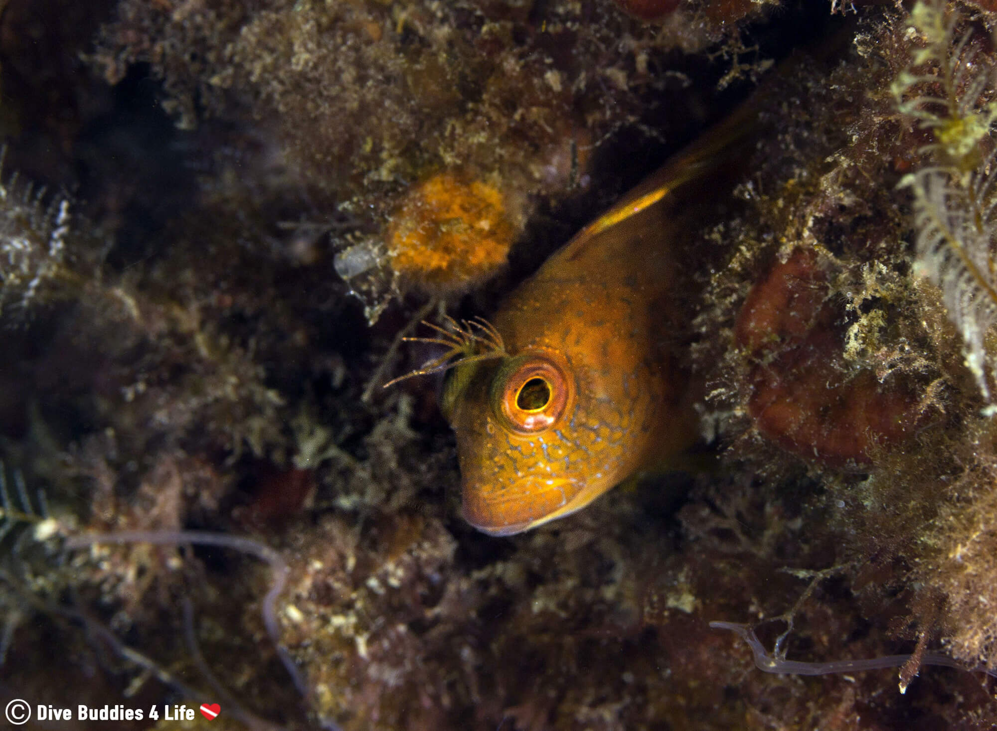 A Yellow Blennny Fish In The Marine Plant Life Of Costa Del Sol In Spain, Europe