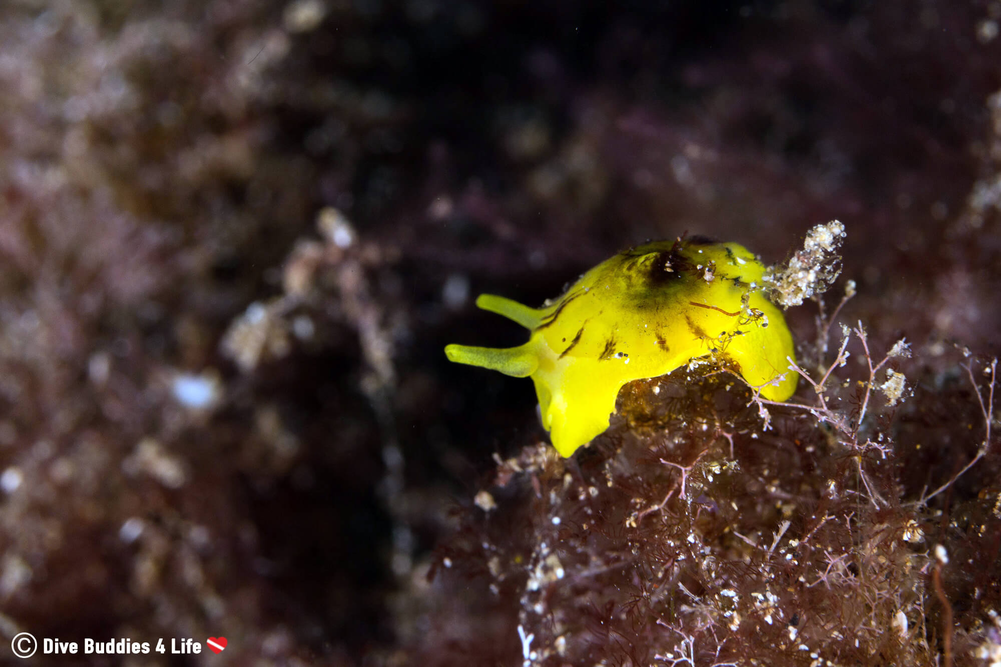 A Yellow Nudibranch Perched On The Top Of Marine Plant Life In Lanzarote, Canary Islands, Spain