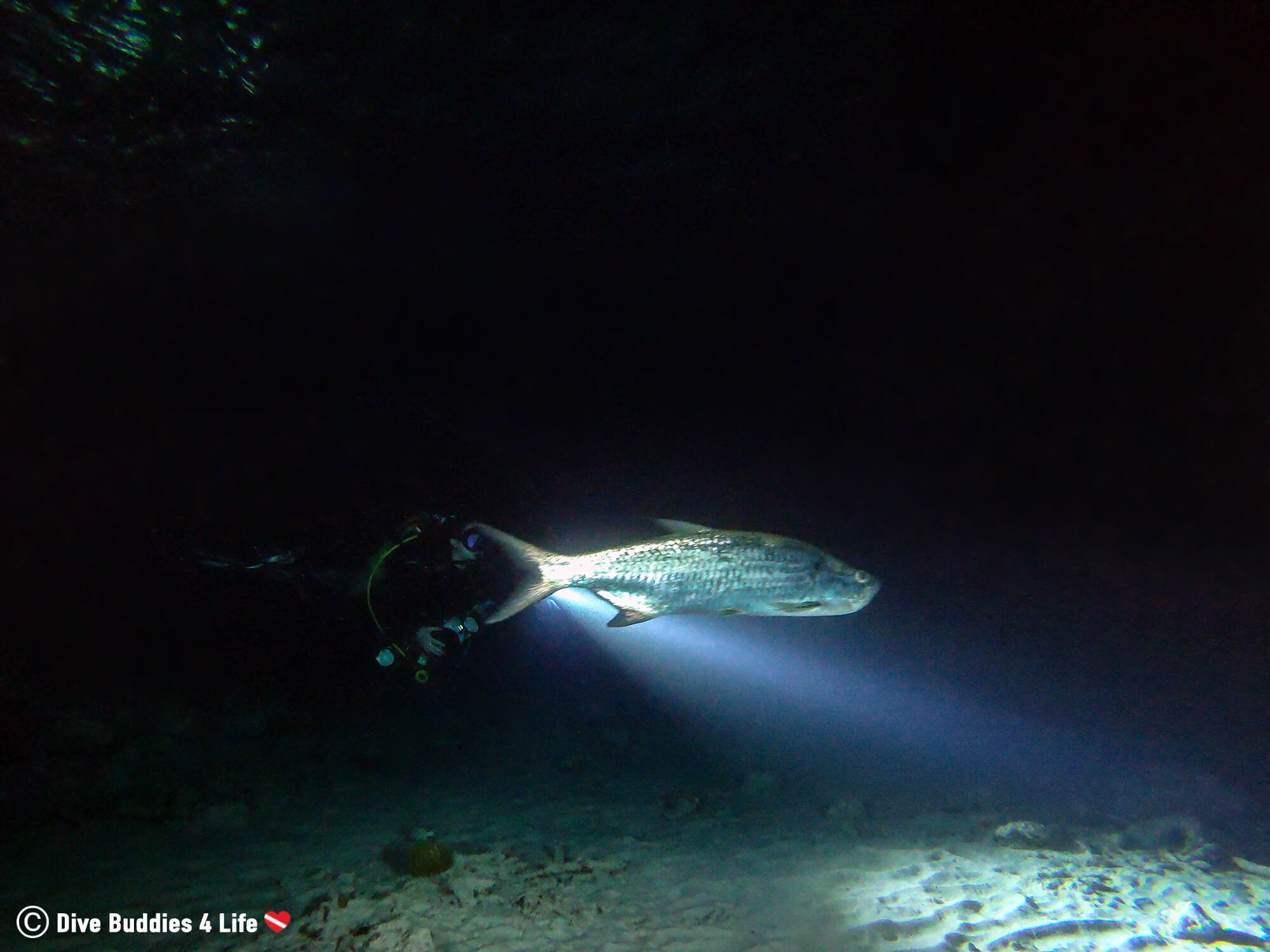 Ali Night Diving With A Tarpon In Bonaire, Caribbean