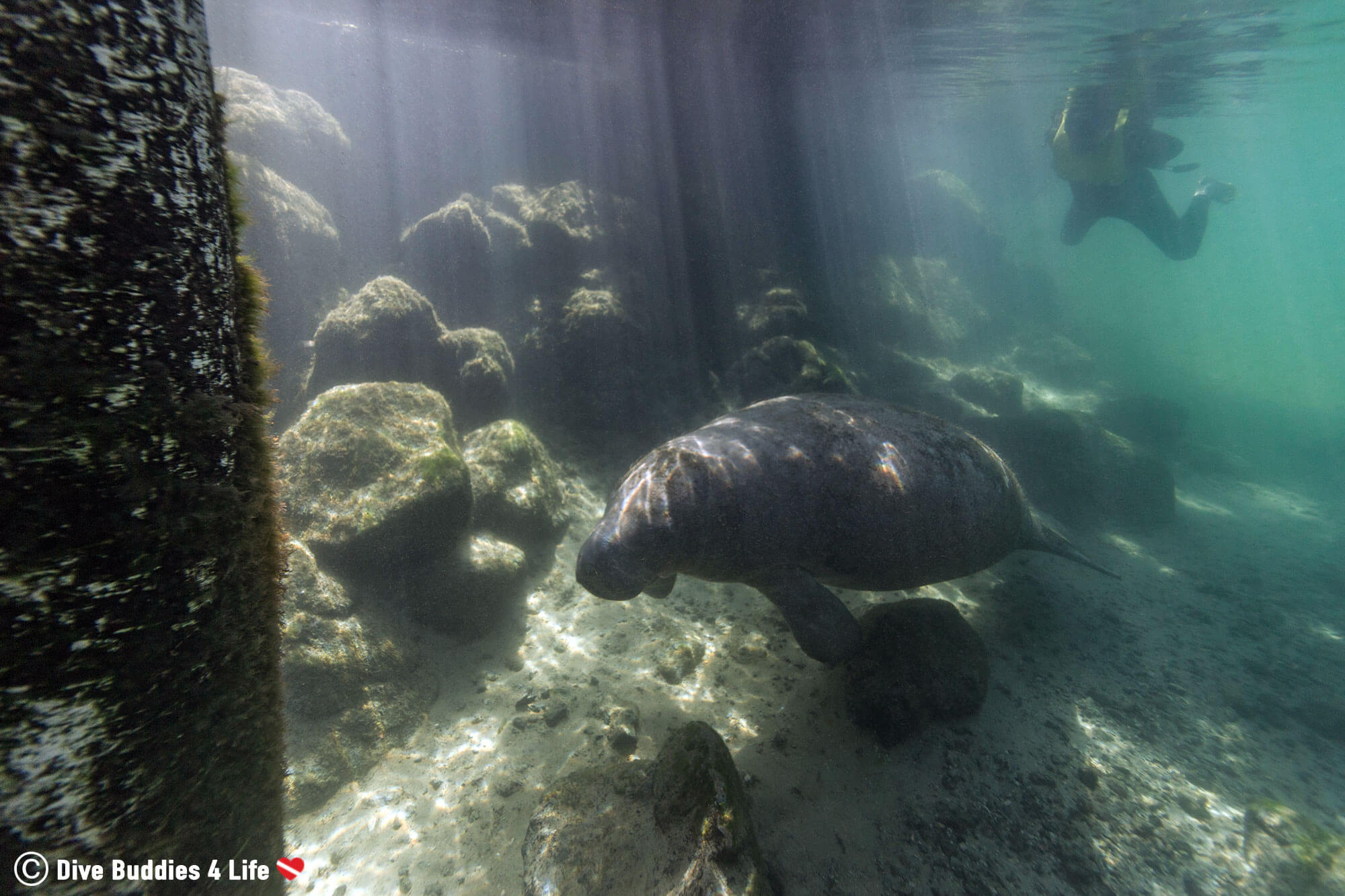 Ali Snorkeling In Three Sisters Spring With A Manatee Swimming, Florida, USA