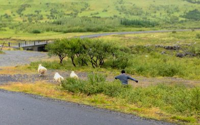 Ali in Pursuit of Some Icelandic Sheep