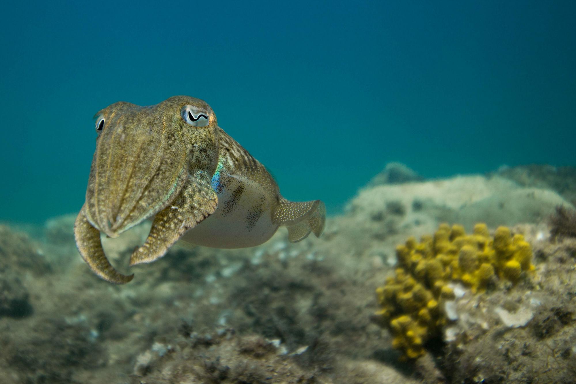 Ali's Favorite Cuttlefish in Slovenia