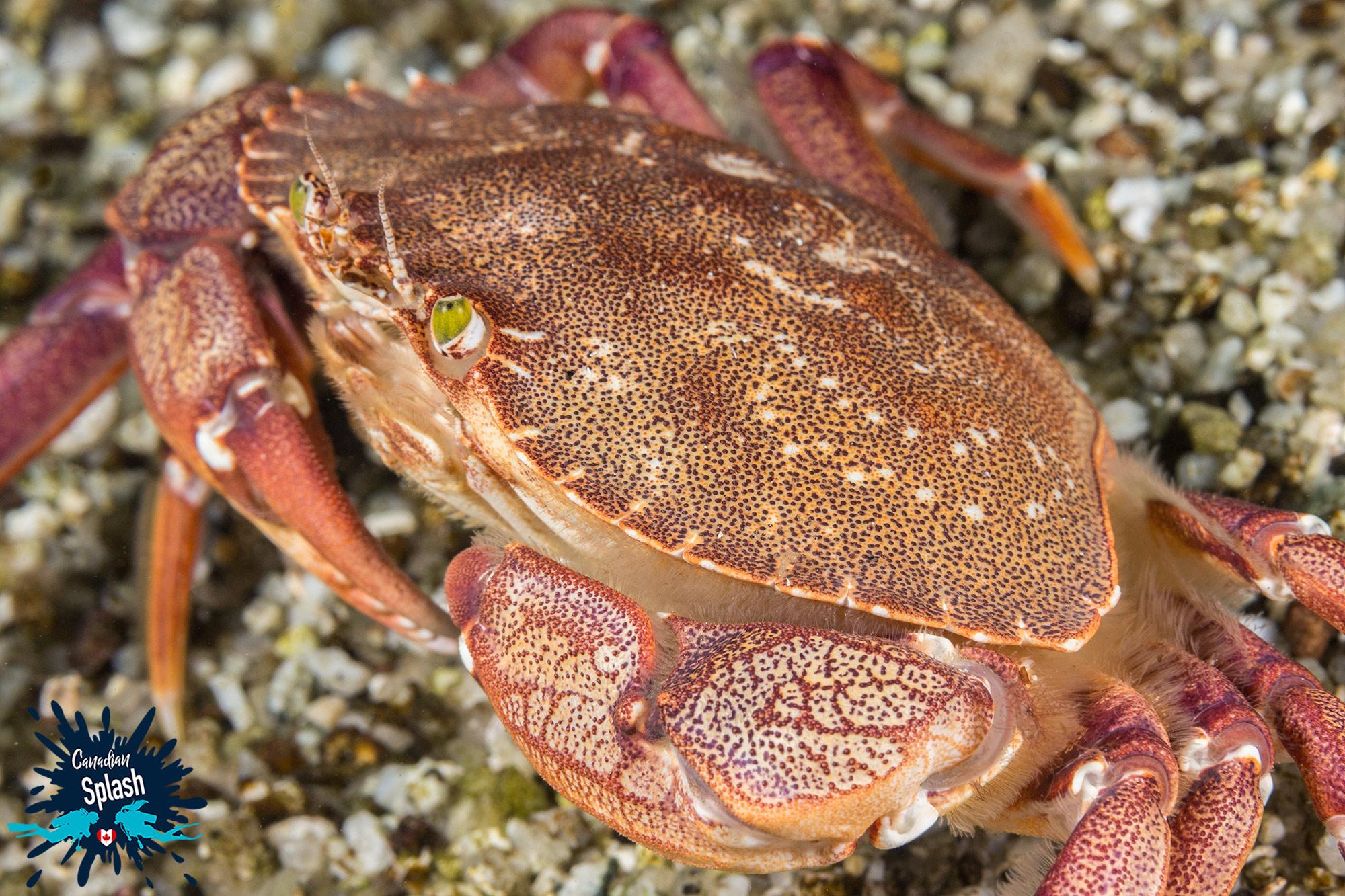 An Atlantic Rock Crab On The Bottom Of The Ocean In Halifax, Nova Scotia Diving, Canada