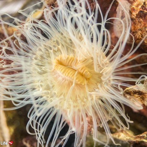 Another Beautiful Translucent Anemone Centre In The Netherlands Grevelingenmeer Lake