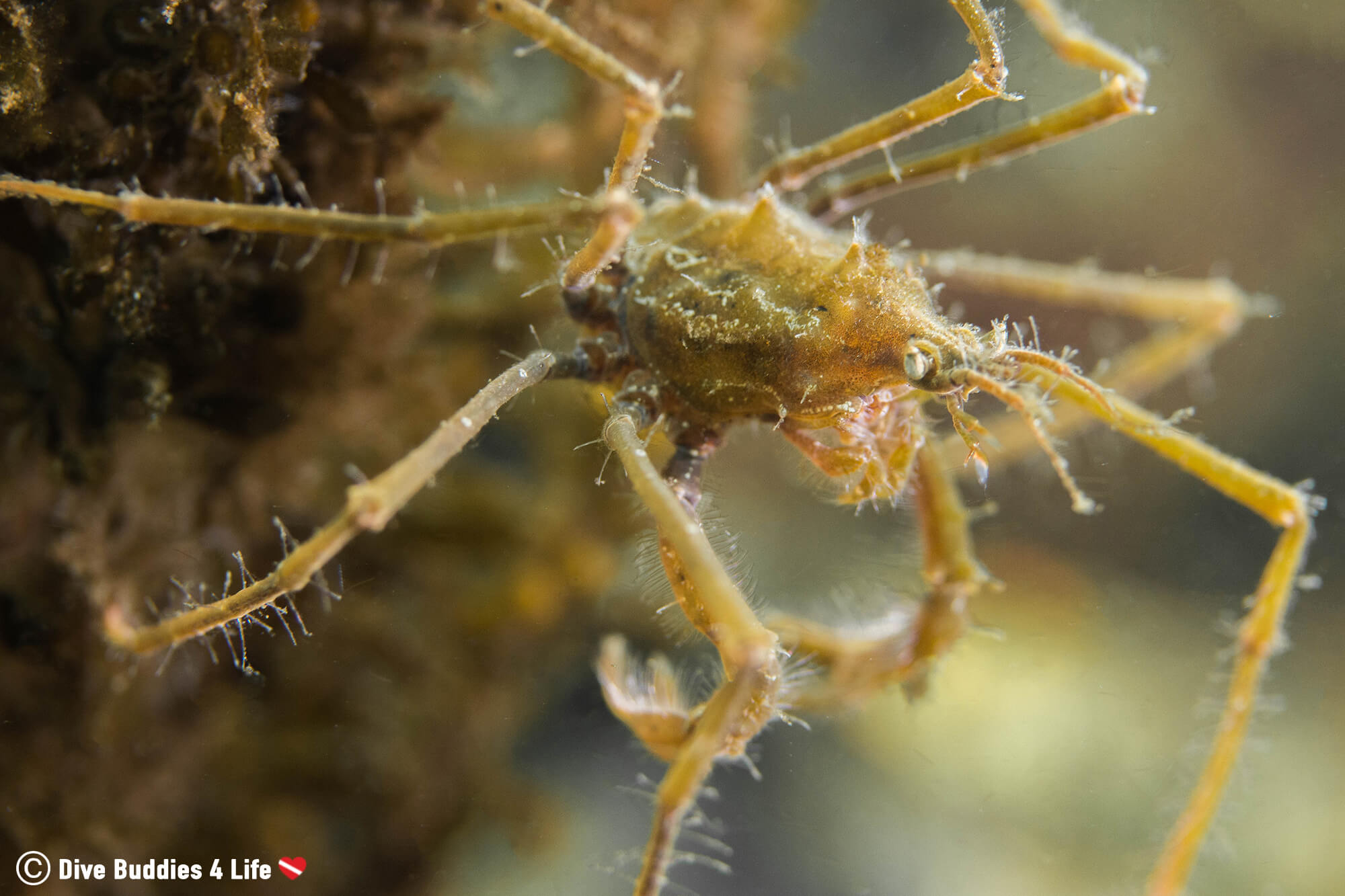 Arrow Crab With It's Long Legs Seen While Scuba Diving In The Netherlands Salt Water Lake In Zeeland