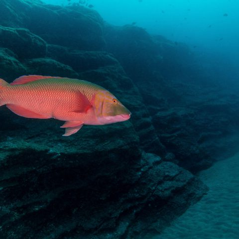 Azores Hogfish at H2 Cal Dive Site