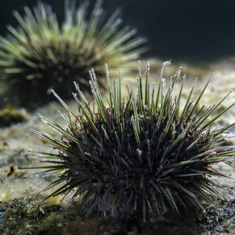 Backlighting On Some Green Sea Urchins At The Saint Andrews Shore Diving Site, New Brunswick, Canada