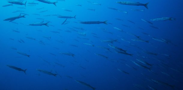 Barracuda Swarming In The Water Off The Amalfi Coast, Italy, Europe