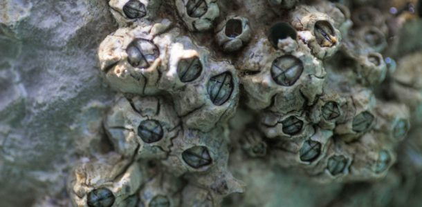Barnacles Encrusting On A Rockface In Zadar, Croatia, Europe