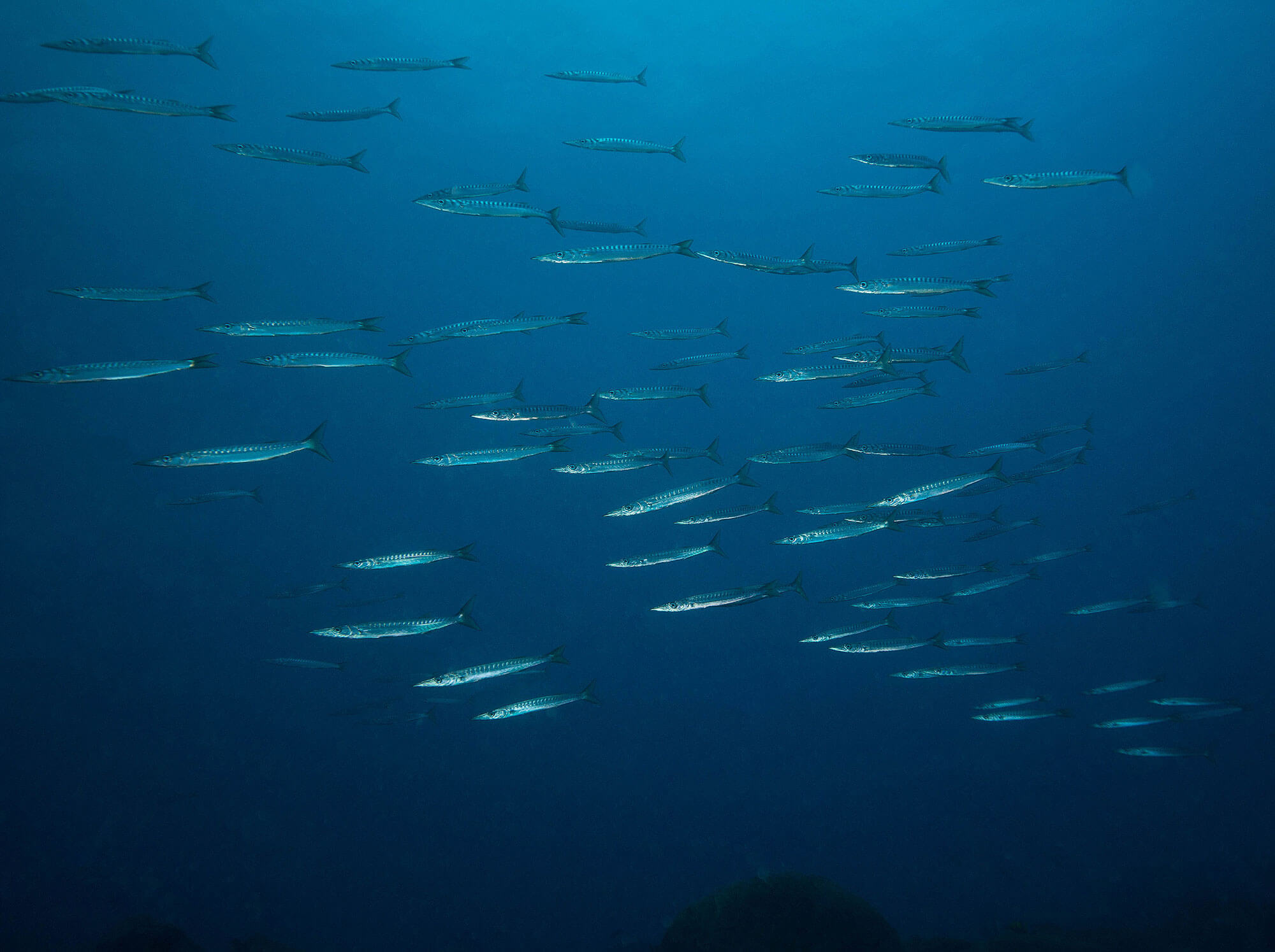 A Big School of Barracuda In The Azores