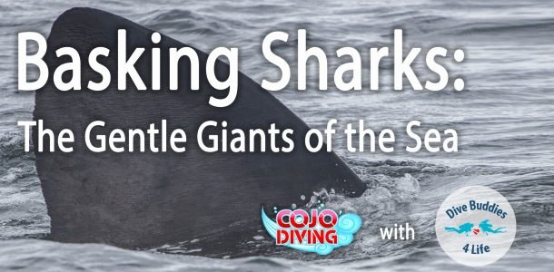 Basking Sharks COJO Diving Event