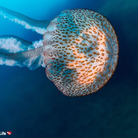 Scuba Diving with a Beautiful Spanish Jellyfish in Costa Brava, Spain, Europe