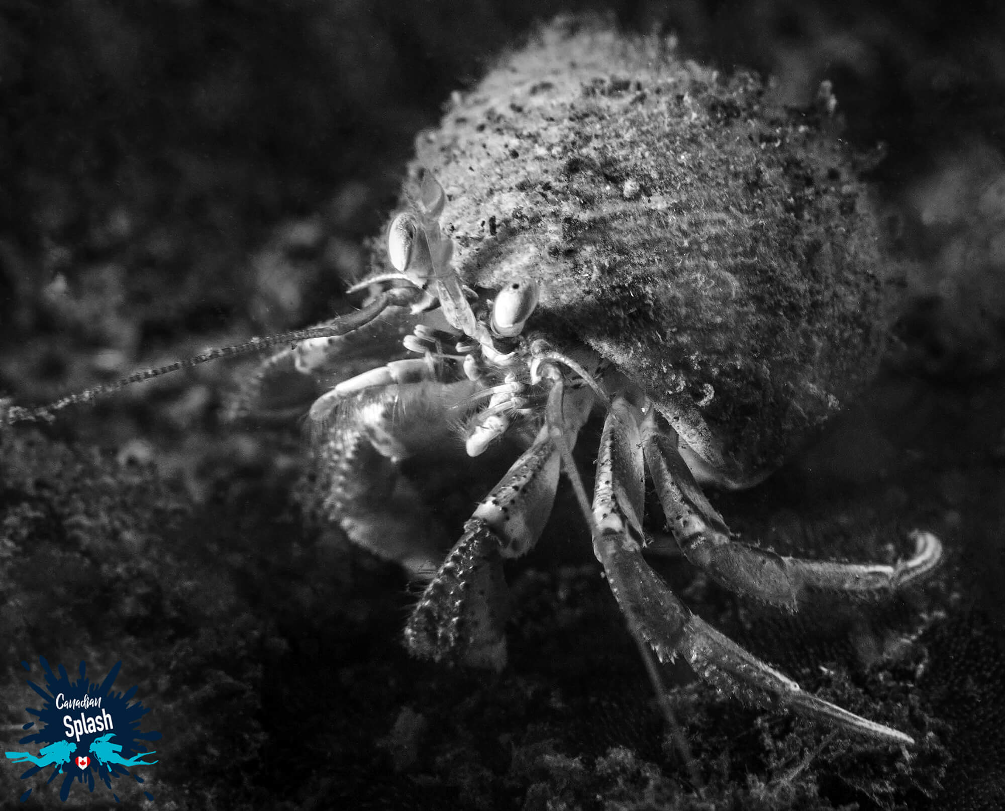 Black And White Hermit Crab On The Sea Floor Of Saint Andrews, New Brunswick, Canadian Splash