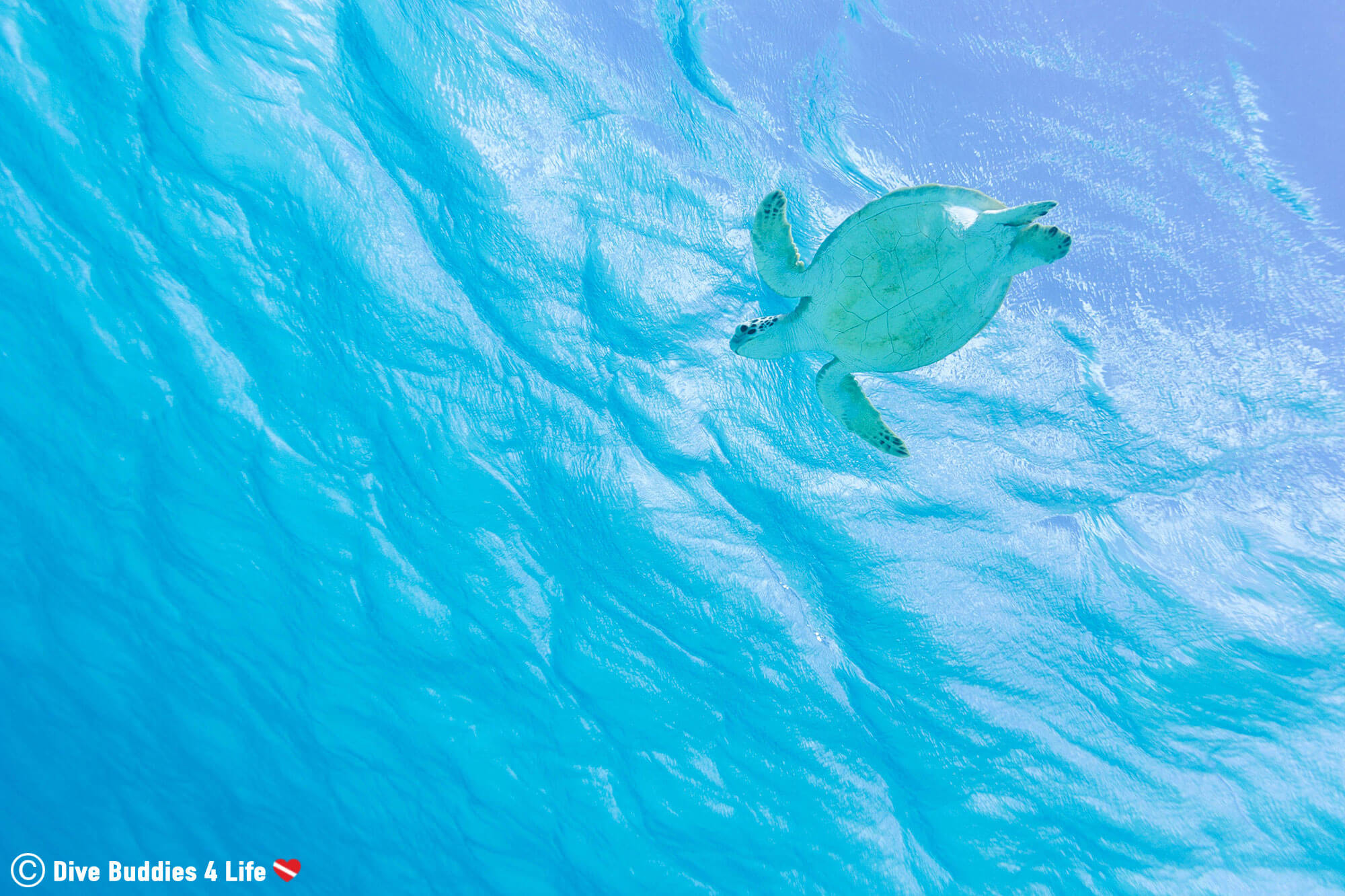 Bonaire Sea Turtle View From Under The Water, Dutch Caribbean