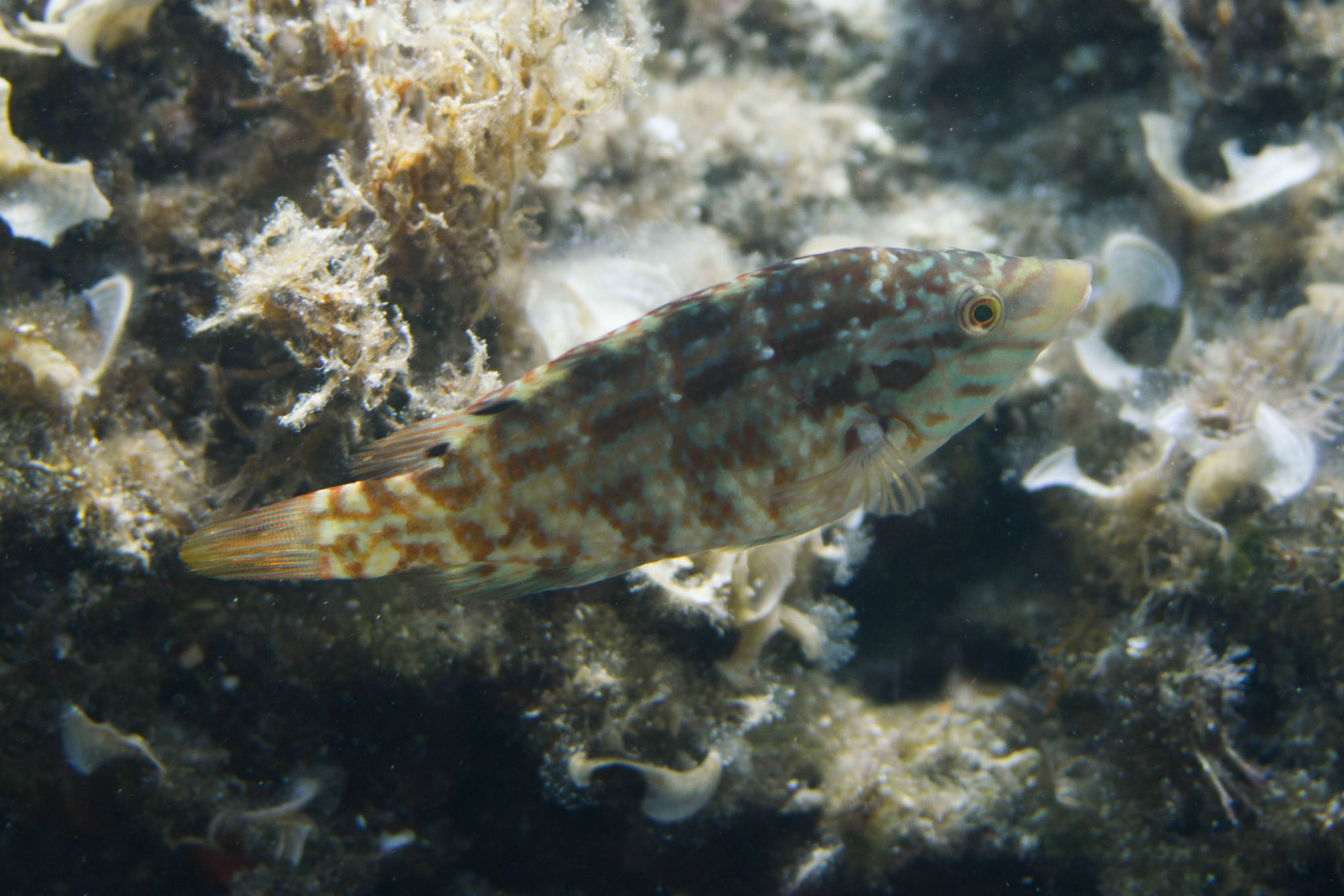 Brown And Beige Checkered Fish Swimming In Croatia