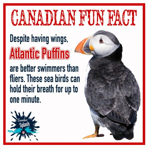 Canadian Splash Fun Fact Atlantic Puffins