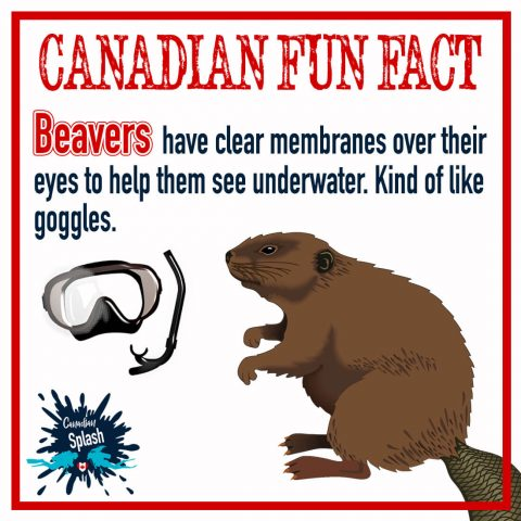 Canadian Splash Fun Fact Beaver