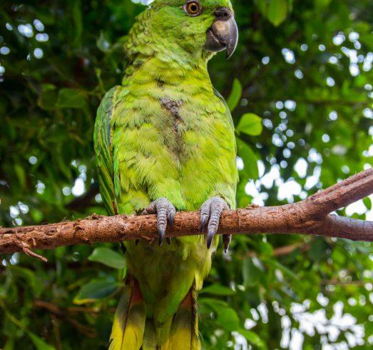 Central Park Parrot