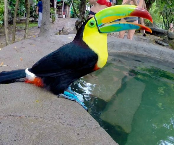A Close Up of the Costa Rican Toucan