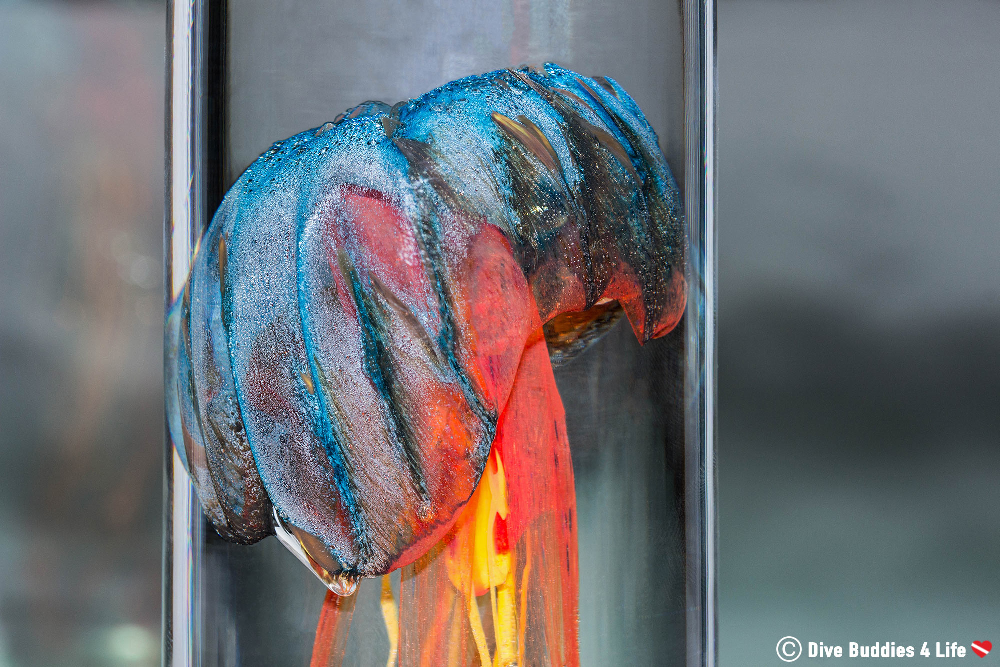 Close Up Of The Blue And Orange Glass Jellyfish Figurine By La Meduse