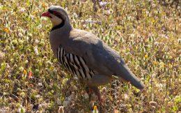 Close up of Grouse Bird