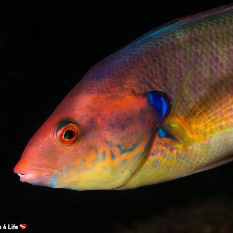 Colorful Wrasse At The Local Dive Site In The Azores Of Saõ Miguel Island, Portugal